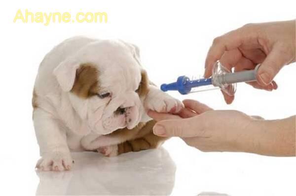 Điều trị bệnh chảy nước mắt cho chó như thế nào?
