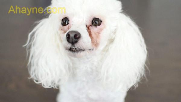 vì sao chó bị chảy nước mắt thì sẽ có vệt màu đen, đỏ hoặc vàng ở ngoài vùng mắt?