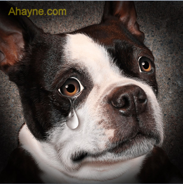 chó bị chảy nước mắt có phải là một bệnh lý không?