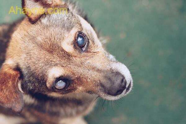khi nào tình trạng chảy nước mắt ở chó mèo được coi là một bệnh lý?
