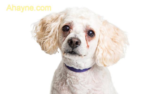 chó bị chảy nước mắt nhiều và lâu ngày sẽ hiện ra vệt nâu dưới mắt