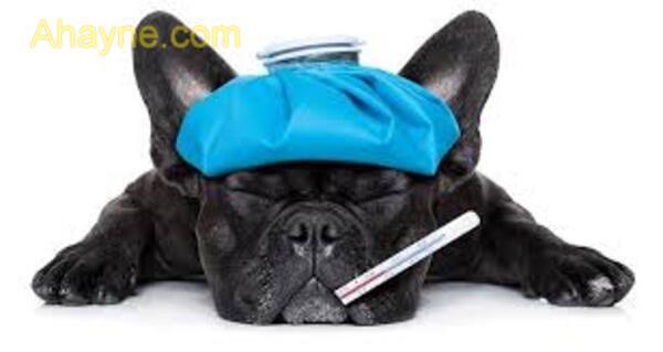 cách phòng tránh và điều trị chó bị chảy nước mắt