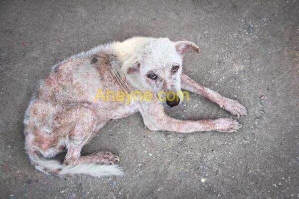 hình ảnh một chú chó bị ghẻ ở mức độ nặng