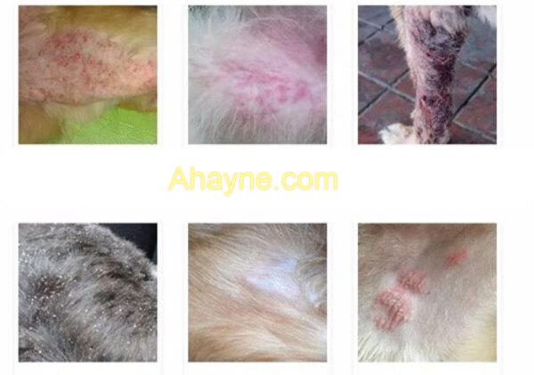 hình ảnh một số dấu hiệu cho thấy chó của bạn đang bị ghẻ, viêm da