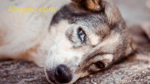 trị chứng ho bình thường và cả chứng ho khạc có đàm ở cún