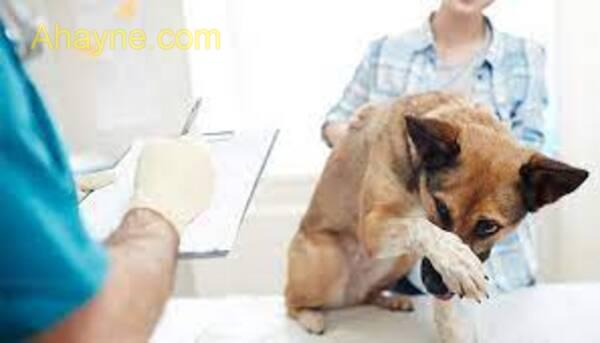 chó bị ho khạc bệnh khá nguy hiểm gây          tử chiến cho chó