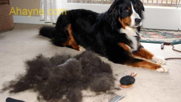 chó có thể bị rụng lông do sử dụng sữa tắm không phù hợp