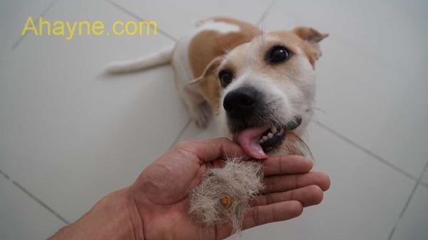 chó bị rụng lông do di truyền