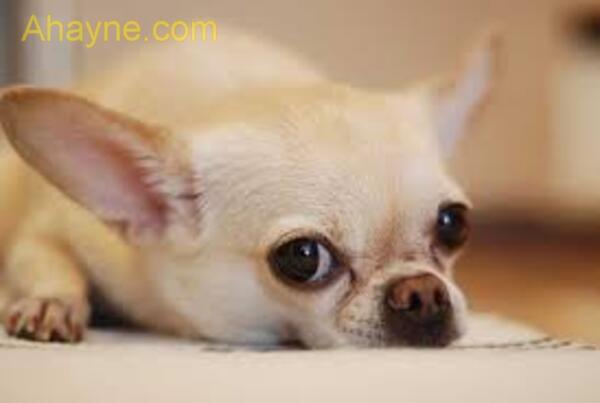 chó con cần được tiêm phòng mũi 1 trước 16 tuần tuổ
