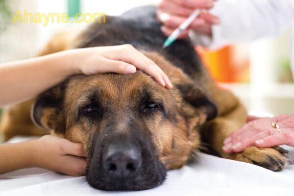những quan niệm sai lầm về tiêm phòng cho chó