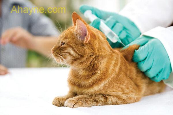 lịch tiêm phòng vaccine cho mèo